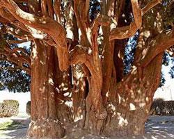 کهن ترین درختان جهان در یزد