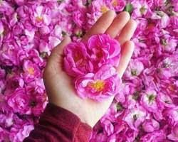 گلاب گیری کاشان