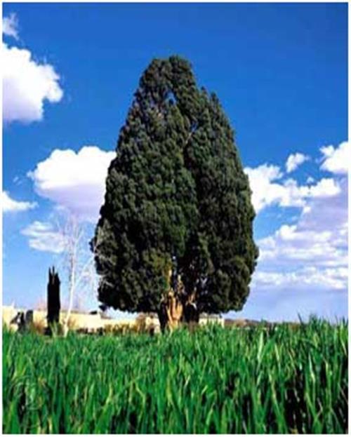 کهن سال ترین درختان یزد-خرید بلیط اتوبوس - خرید اینترنتی بلیط اتوبوس - پایانه - بلیط اتوبوس-