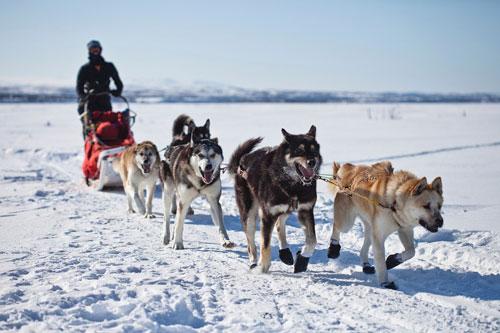 سورتمه سگ - آلاسکا ، ایالات متحده آمریکا
