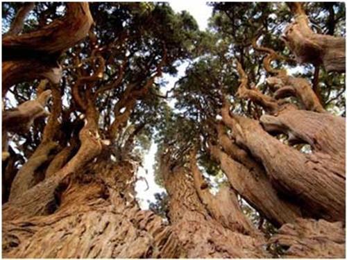 کهن ترین درختان یزد-خرید بلیط اتوبوس - خرید اینترنتی بلیط اتوبوس - پایانه - بلیط اتوبوس-
